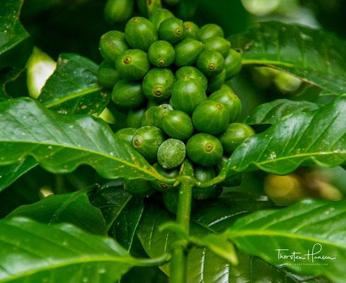 Kaffeekirschen auf der Insel Bali
