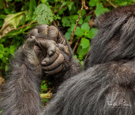 Aber auch Schnecken, Würmer und Insektenlarven stehen ab und zu auf dem Speiseplan der Affen.