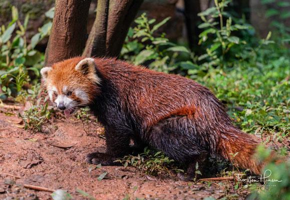 Ihr Fell ist lang und weich, oberseits rötlichbraun bis kupferrot, manchmal mit einem Stich ins Gelbliche, unterseits glänzt es schwarz.