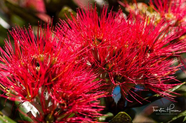 Die Blüten des Pōhutukawa, des neuseeländischen Weihnachtsbaums