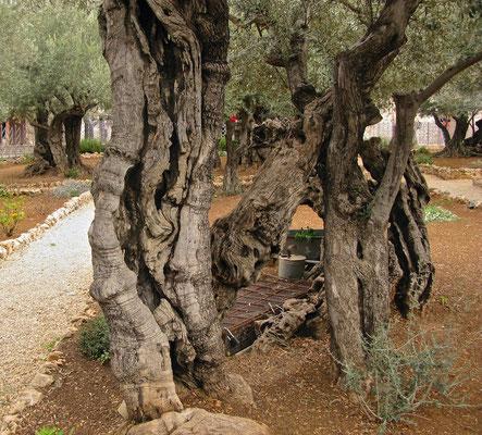 Getsemani (auch Gethsemani - der Ort, in dem nach dem Matthäus-, Markus- und dem Lukasevangelium Jesus Christus in der Nacht vor seiner Kreuzigung betete, ehe er von Judas Iskariot verrate
