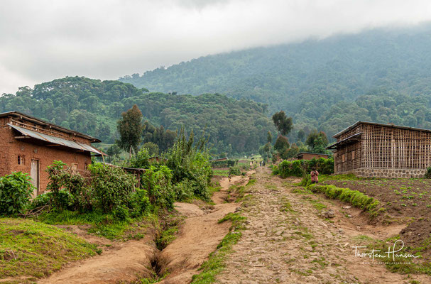 Auf der Suche nach den großartigen Berggorillas im Verunga Nationalpark in Ruanda