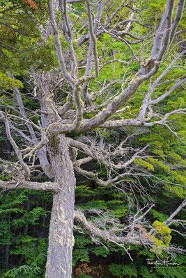 Die Vegetationen des Parks besteht hauptsächlich aus Scheinbuchwäldern, Sauerkirschbäume, Coihues;