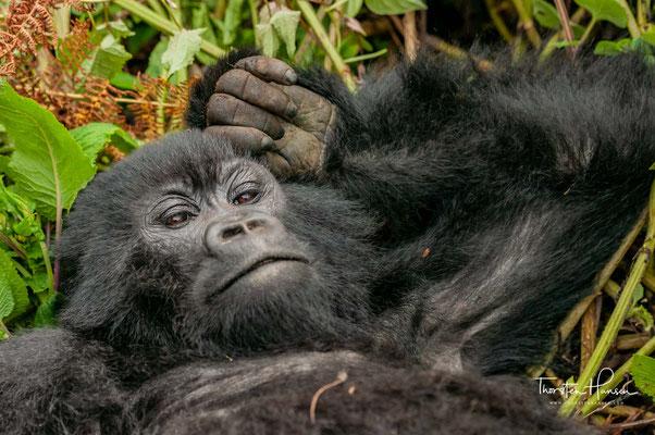 Im Vorfeld des Völkermordes in Ruanda fanden auch im Nationalpark immer wieder Kämpfe statt, in deren Verlauf 1992 auch das Verwaltungszentrum des Nationalparks angegriffen wurde.