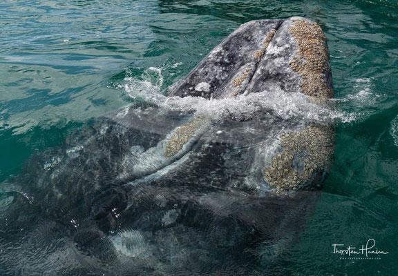 Das Naturschauspiel dieser Giganten der Weltmeere ist wahrhaft faszinierend.