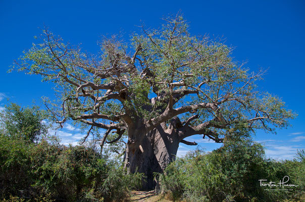 Baobab Baum im Bwabwata-Nationalpark (ehemals Caprivi-Nationalpark und Mahango-Nationalpark)
