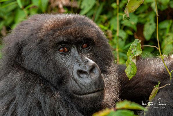 Ein Berggorilla-Weibchen bekommt ungefähr alle vier Jahre Nachwuchs.