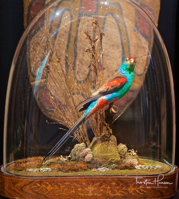 Paradiese Parrot im Australian Museum