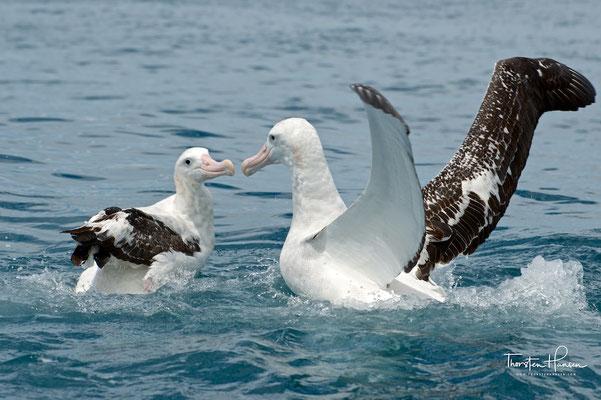 Diese Art wird zwischen 120 cm und 130 cm groß und erreicht eine Flügelspanne von 330 cm. Er wird ca. 7 kg schwer.