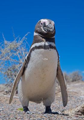 """Ihren wissenschaftlichen Namen erhielt die Art wegen ihrer Häufigkeit an den Küsten der """"Terra Magellanica"""""""