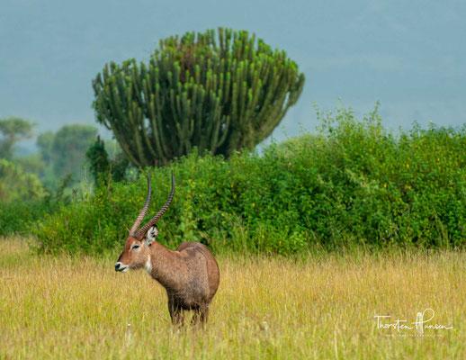 Im Park leben außerdem große Herden von Kaffernbüffeln, in Wassernähe halten sich Defassa-Wasserböcke auf