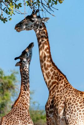 Die seltene Thornicroft-Giraffe (G. c. thornicrofti) in South Luangwa NP