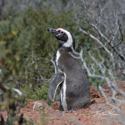 Der Magellan-Pinguin ist etwa 70 cm lang und wiegt vier Kilogramm