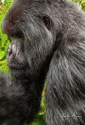 In freier Wildbahn werden Berggorillas etwa 40 bis 45 Jahre alt. In Gefangenschaft können die Affen sogar noch älter werden.