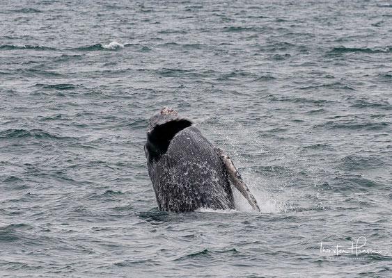 Das Gewicht liegt bei 25 bis 30 Tonnen. Der Körper ist dabei im Vergleich zu allen anderen Furchenwalen sehr kräftig ausgebildet.