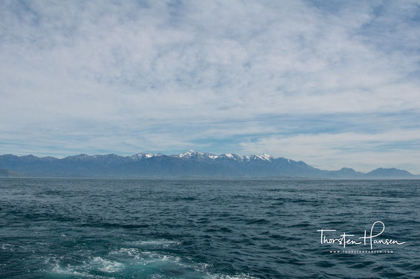 Pottwale beim Whale Watching in Kaikoura