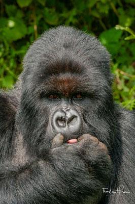 Berggorillas haben keine feste Paarungszeit, die Fortpflanzung kann das ganze Jahr über erfolgen. Nach einer rund 257-tägigen Tragzeit bringt das Weibchen meist ein einzelnes Jungtier zur Welt – Zwillinge sind selten.