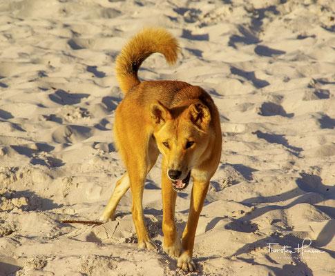 In der Mehrzahl der Fälle enden die Zwischenfälle jedoch für die Dingos tödlich.