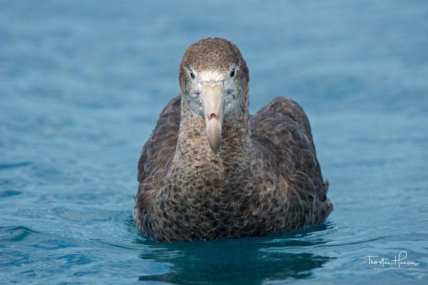 Riesensturmvögel brüten in lockeren Kolonien auf flachem Grund in Küstennähe. Das Nest ist eine flache Mulde. Das Gelege besteht aus einem Ei, das etwa zwei Monate lang bebrütet wird. Jungvögel werden im Alter von vier Monaten flügge.