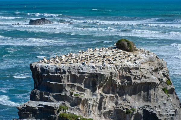 Australischer Basstölpel Muriwai Beach