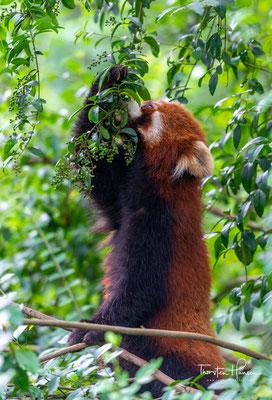 Kleine Pandas sind sehr geschickte und akrobatische Kletterer. Während sie abends und nachts auf Nahrungssuche gehen, schlafen sie am Tage meist lang ausgestreckt in Astgabeln der Bäume..
