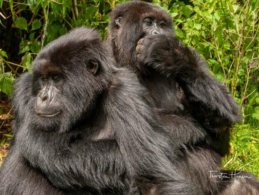 Die letzten rund 700 Berggorillas leben in zwei versprengten Populationen: Etwa 380 Tiere sind noch in Schutzgebieten der Virunga-Berge zu finden.