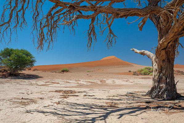 Der Kameldorn (Vachellia erioloba (E.Mey.) P.J.H.Hurter, Syn.: Acacia erioloba E.Mey.), auch Kameldornbaum oder Kameldornakazie, gehört zur Unterfamilie der Mimosengewächse