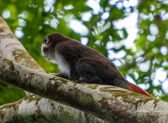 Rotschwanzmeerkatze im Mabira Forest Reserve