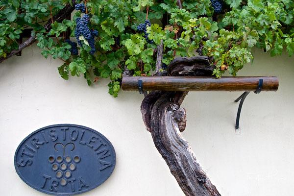 Ältester Weinstock der Welt - die Stara trta