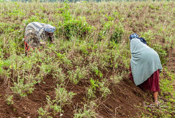 m Park liegen fünf der acht Virunga-Vulkane: Visoke, Gahinga, Karisimbi, Muhabura und Sabinyo.