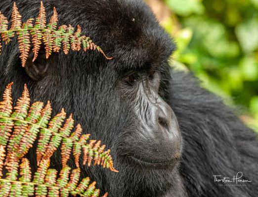Berggorillas bewohnen zwei kleine Gebiete im östlichen Afrika, das Gebiet der Virunga-Vulkane und den Bwindi-Wald...
