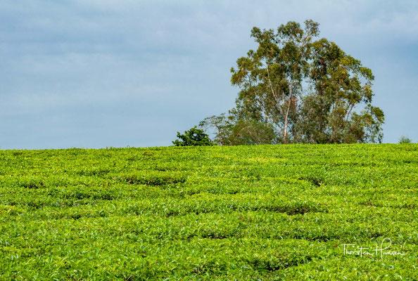 Teeplantagen in der Nähe des Mabira Forest Reserve
