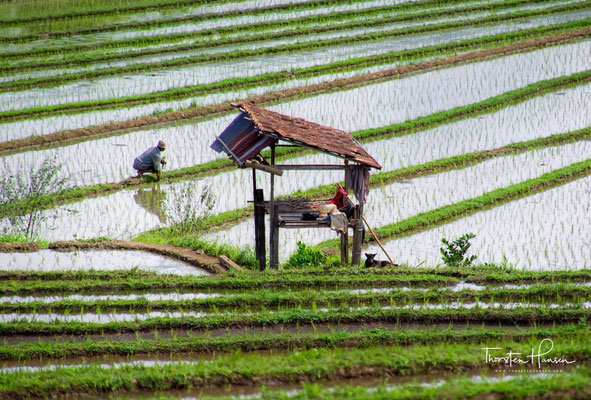 Die Reisterrassen von Jatiluwih zählen seit 2012 zusammen mit vier anderen Reisanbaugebieten auf Bali zum UNESCO-Weltkulturerbe.