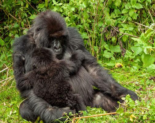 Der Berggorilla (Gorilla beringei beringei) ist eine Unterart des Östlichen Gorillas aus der Primatenfamilie der Menschenaffen (Hominidae)