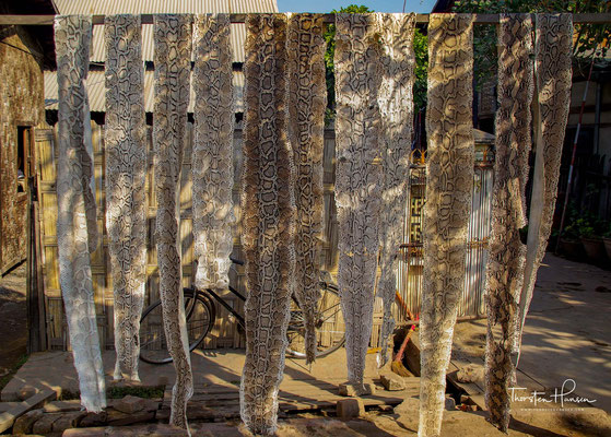 Schlangenlederproduktion in Myanmar