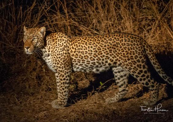 Leopard im Südluangwa NP