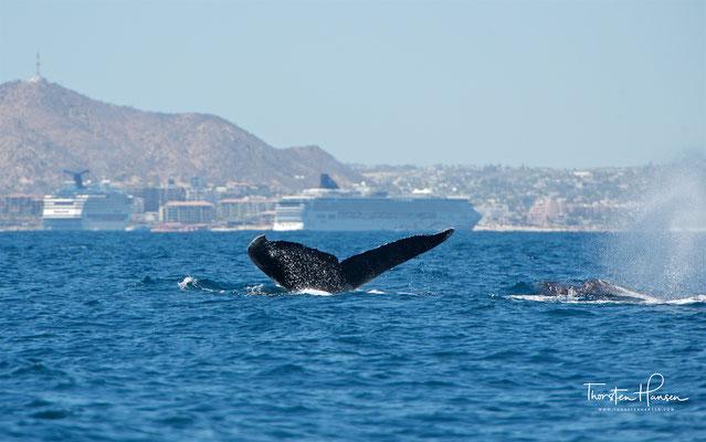 Wale in Cabo San Lucas