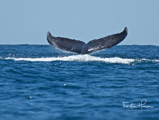 Buckelwale sind schnelle Schwimmer, wobei die Geschwindigkeiten bei den Wanderungen zwischen 1,5 und 11,0 Kilometern pro Stunde bei einer Durchschnittsgeschwindigkeit von 2 bis 5 Kilometern pro Stunde liegen.