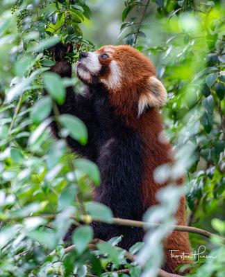 Der Kleine Panda ist primär ein Pflanzenfresser. Die Hauptnahrungsquelle stellen Bambusschößlinge dar.