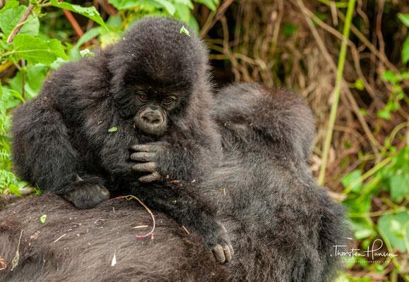 Kaum eine andere Menschenaffenart ist so sehr vom Aussterben bedroht wie die Berggorillas, wissenschaftlich Gorilla beringei beringei. Sie sind eine von von Unterarten der Gorillas, den größten Affen der Erde.