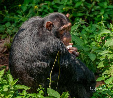 Stehend erreichen ausgewachsene Affen eine Größe von rund 1,20 Metern. Männchen wiegen etwa 28 bis 70 Kilogramm, die Weibchen sind etwas leichter und wiegen etwa 20 bis 50 Kilogramm.