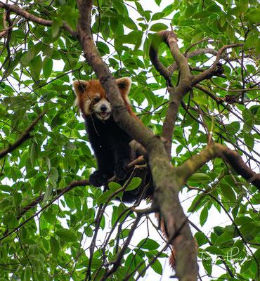 Kleine Pandas kommen in Nepal, in Bhutan und Indien (Arunachal Pradesh und Sikkim), im nördlichen Myanmar...
