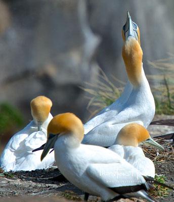 Australische Tölpel ziehen pro Jahr nur ein Gelege groß, legen aber regelmäßig Ersatzgelege, wenn entweder das Gelege verloren geht oder der Jungvogel vor seinem achten Lebenstag stirbt.