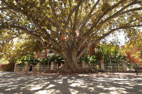 Feigenbaum in Perth