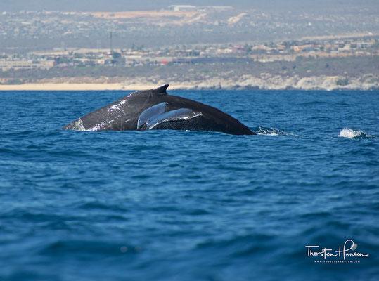 Der Wal schwimmt mit geöffnetem Maul in diese Schwärme ein und taucht danach meist mit gefülltem Maul ab.
