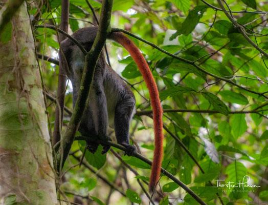 Sehr seltene Rotschwanzmeerkatze im Mabira Forest Reserve