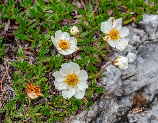 Der Silberwurz (Dryas octopetala) gehört zur Gattung der Dryas, die zu der Familie der Rosengewächse zählen.
