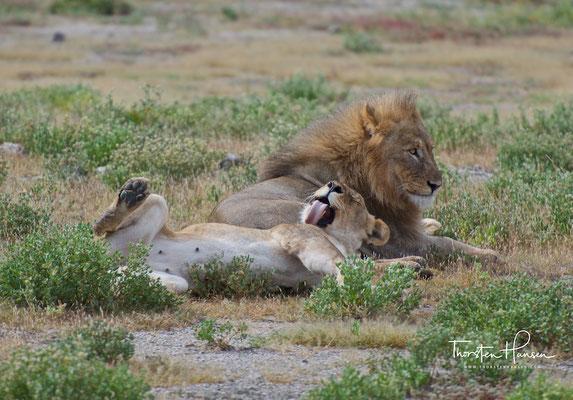 Löwen im Etosha NP