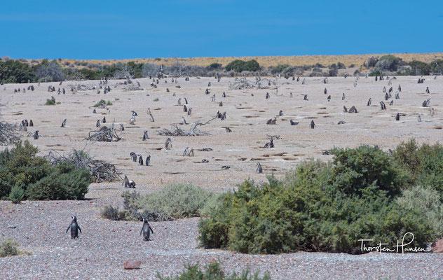 Punta Tombo ist die weltweit größte Brutstätte von Magellan-Pinguinen