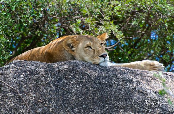 Migration im Serengeti National Park